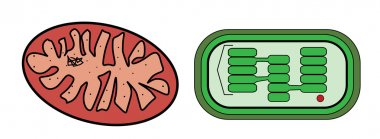 Vector illustration of mitochondria and chloroplast
