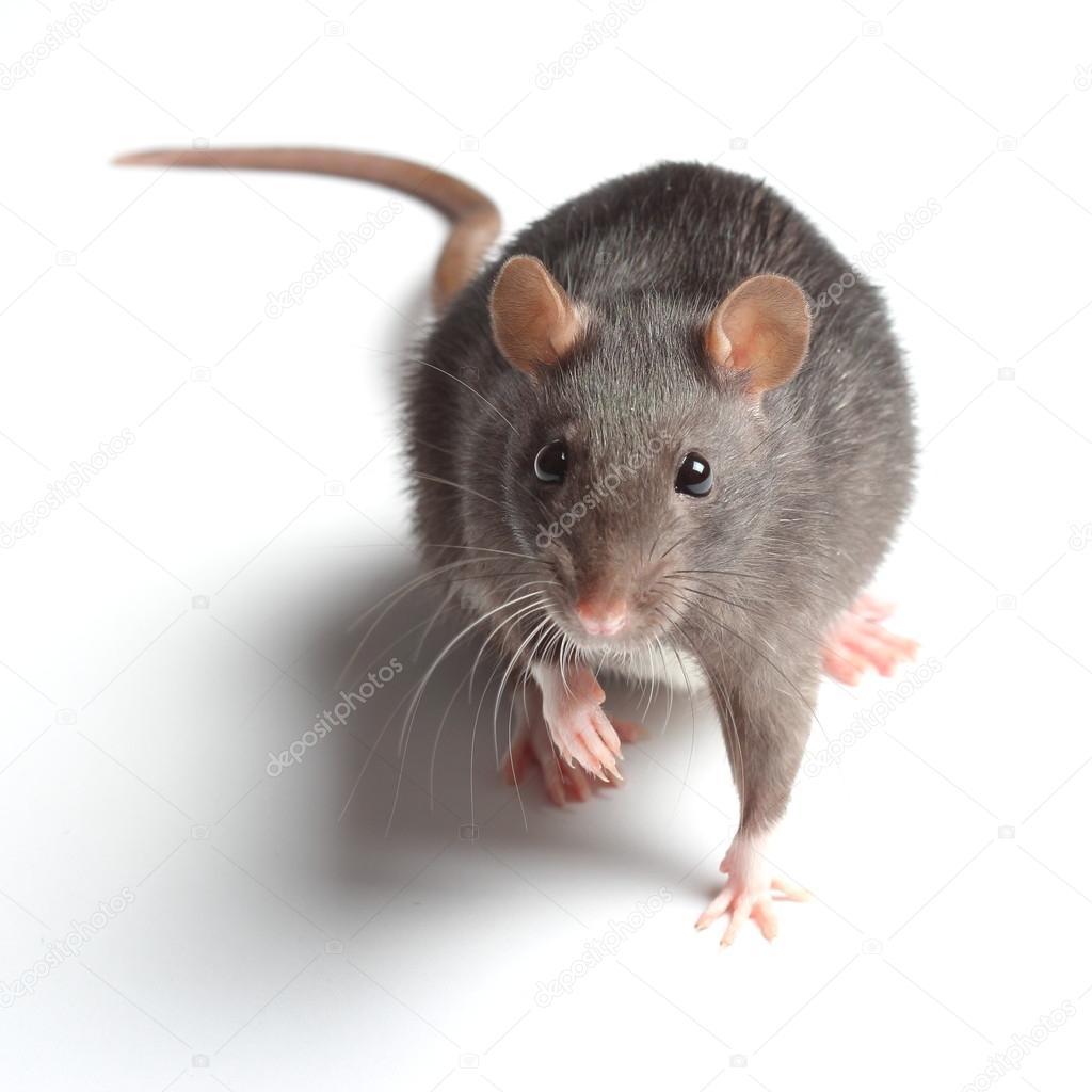 Rat on white