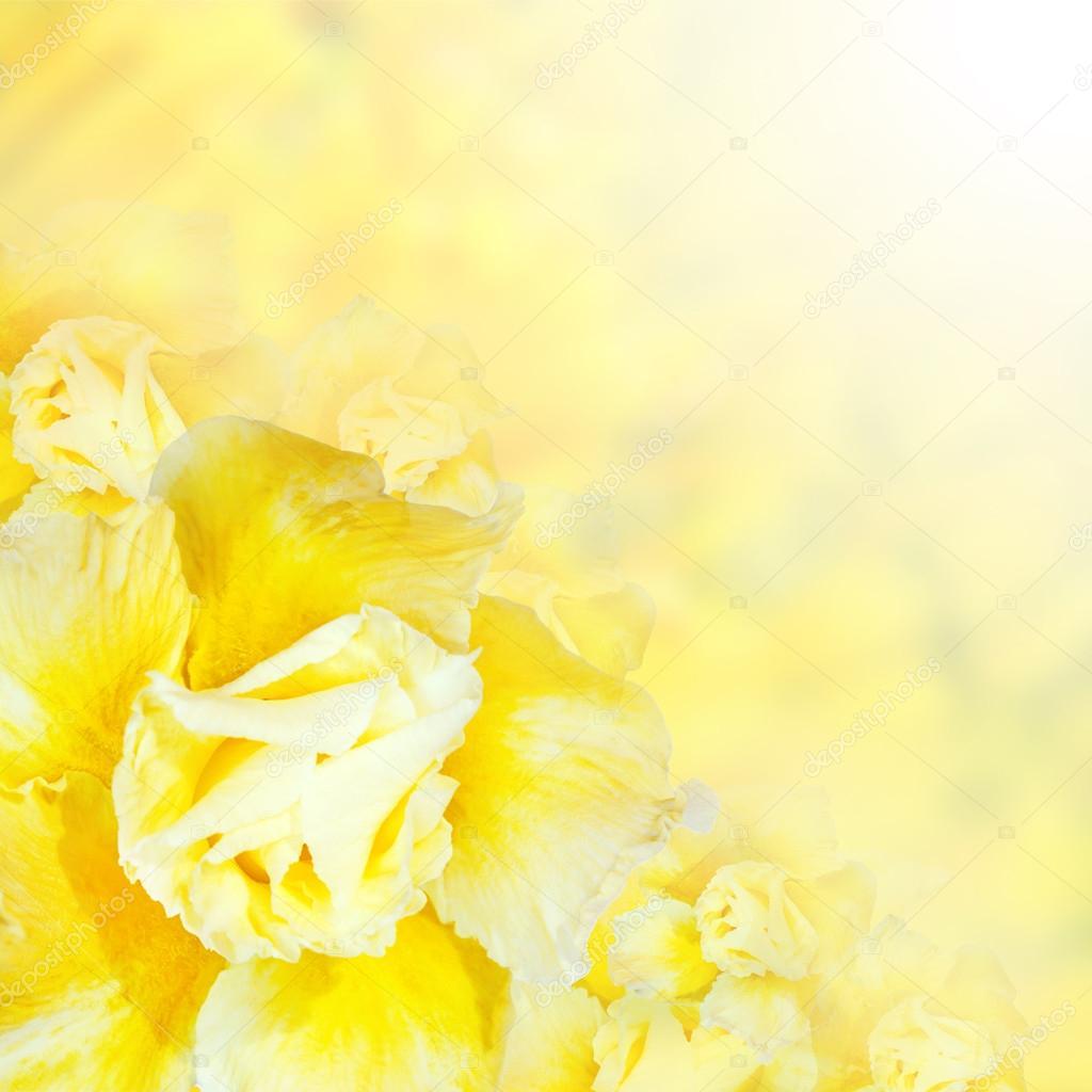 Flower background. Yellow azalea flowers