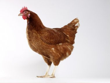 One hen isolated on white background.