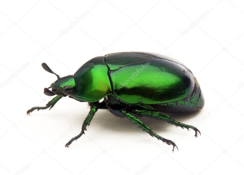 Cimice verde su sfondo bianco foto stock for Cimice insetto