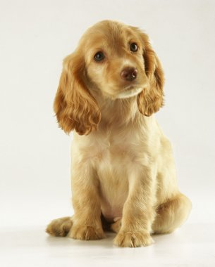 Puppy cocker spaniel on a white background