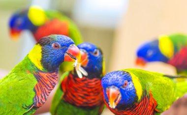 Rainbow lorikeet bird