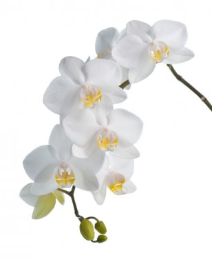 White orchid phalaenopsis isolated on white background. Tropical white flowers. stock vector