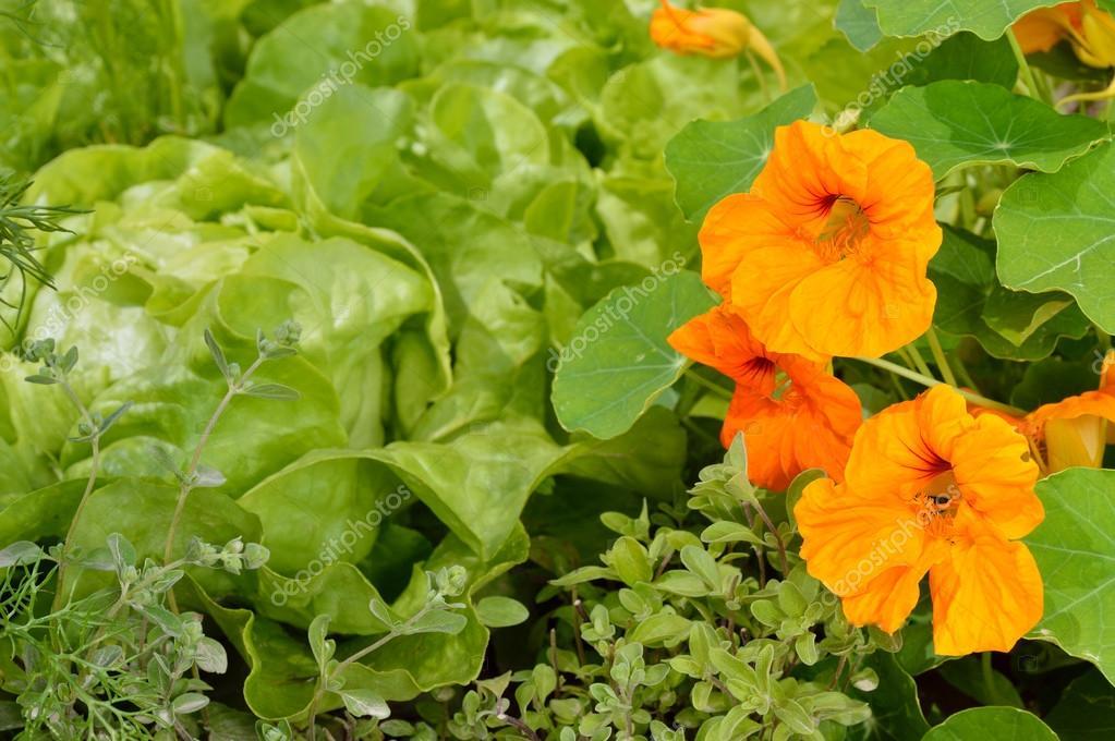 Berühmt Essbare Pflanzen in ein Bio-Garten. — Stockfoto © geo-grafika #FL_38