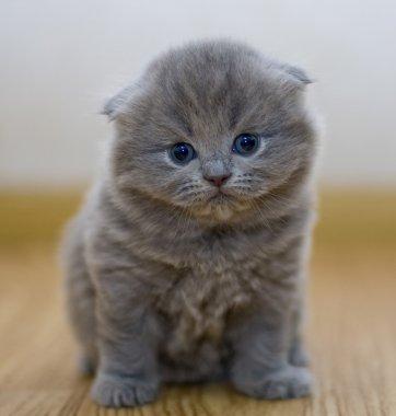 Funny little British kitten stock vector