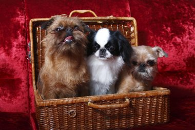 The group of dogs. Two of the Brussels Griffon, Japanese Hin