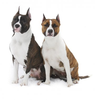 Two american Staffordshire terrier on a white background