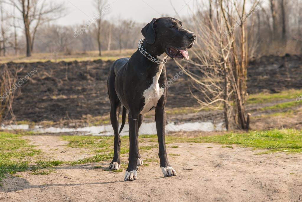 Great Dane dog walking outdoor