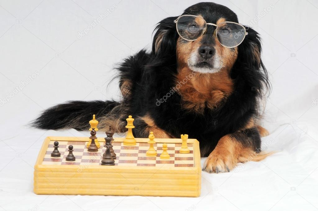 Smart Dog Playing Chess