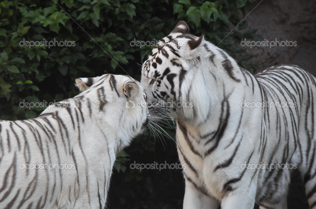 a Pictures striped tiger white of