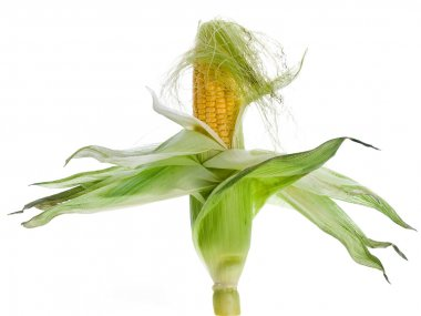 Corn ear on isolated background