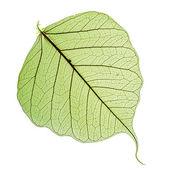 Blatt des Bodhi-Baumes, Makro isoliert auf weiß