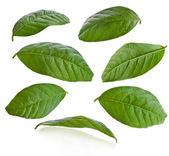 listí guavy izolované na bílém
