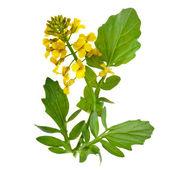 Fotografie Flowering Barbarea vulgaris or Yellow Rocket plant (Cruciferae , Brassicaceae ) close up isolated