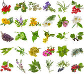 čerstvé léčivé aromatické a kořeninové byliny, listy, bobule, rostlin, květin - sbírka izolovaných na bílém pozadí