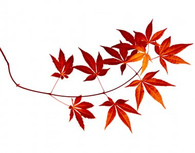 Japanese Red Autumn maple tree leaves (Acer palmatum) isolated