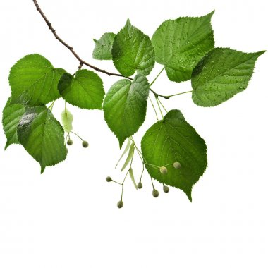 Linden tree branch with water drops border isolated on white