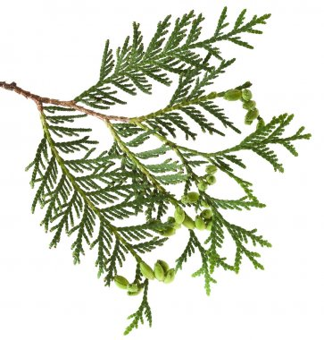 Branch of thuja tree, isolated stock vector