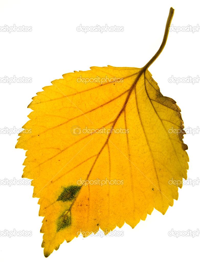 Листья березы осенью фото