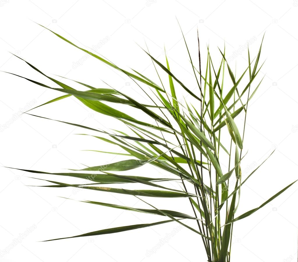 Green reed cane grass Isolated on white background