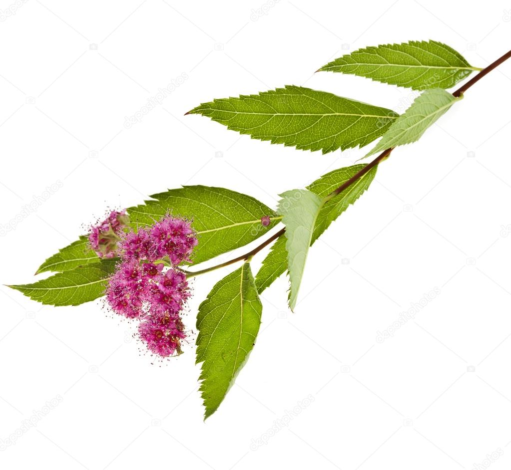 Branches Of Shrubs Spiraea With Fluffy Pink Flowers Isolated On