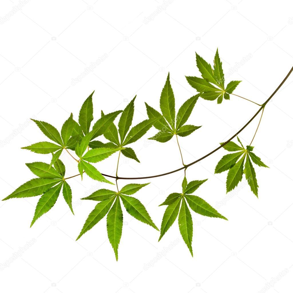 gr ner japanischer ahornbaum acer palmatum isoliert auf. Black Bedroom Furniture Sets. Home Design Ideas