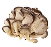 Fotografie Oyster mushroom on white background