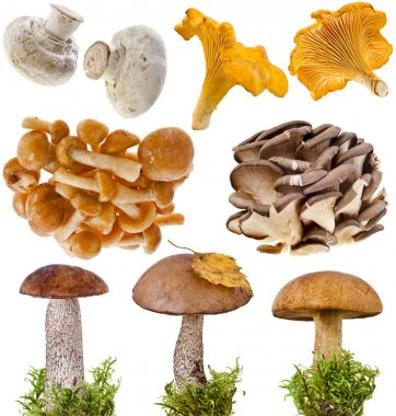 Collection of oyster, boletus mushroom in a green moss isolated on white background