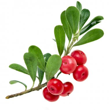 Bearberry (Arctostaphylos Officinalis)