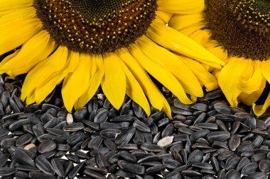 Flower sunflower seeds