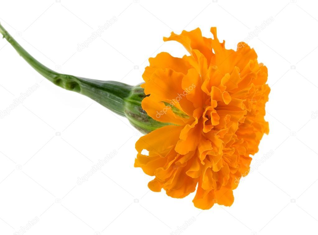 Marigold flowers isolated on white background stock photo marigold flowers isolated on white background stock photo mightylinksfo