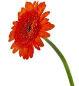Red gerbera flower closeup isolated