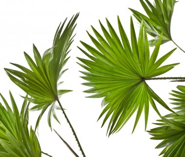 Green palm leaves (Livistona Rotundifolia palm tree) isolated on white background