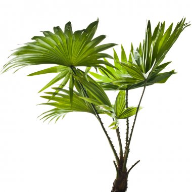Border of green palm leaves (Livistona Rotundifolia palm tree) isolated