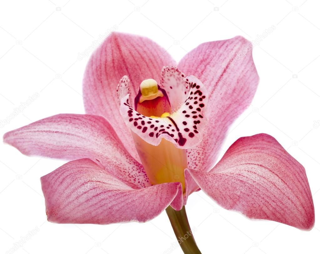 Fiore orchidea rosa su sfondo bianco foto stock for Orchidea prezzo