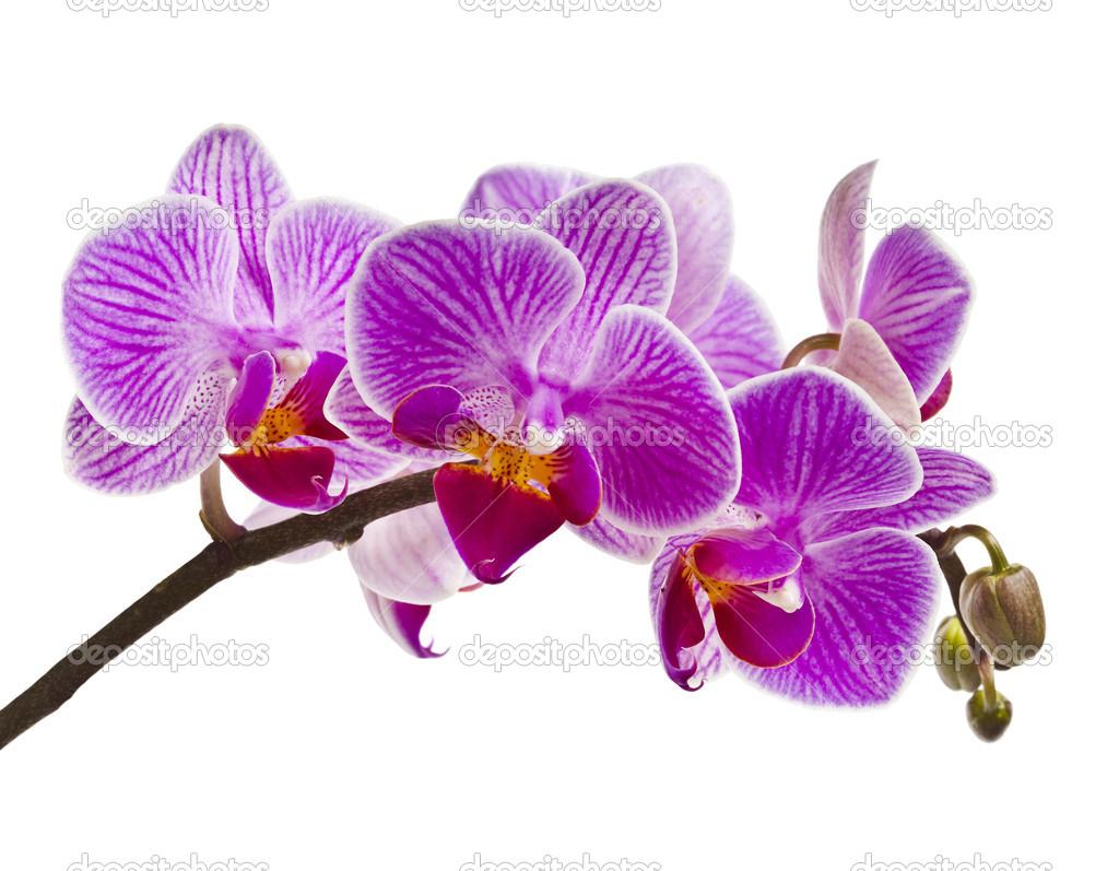 Viola orchidea isolato su sfondo bianco foto stock for Orchidea prezzo