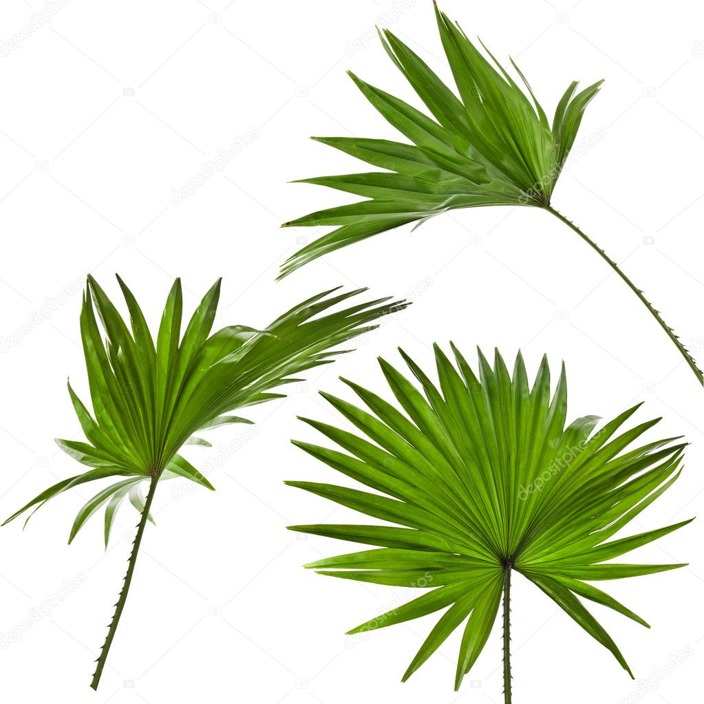 green palm leaves livistona rotundifolia palm tree isolated on