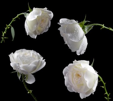 Beautiful white roses on a black background