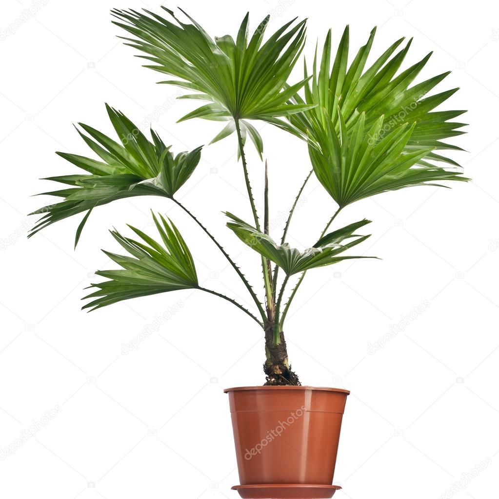 livistona rotundifolia palmier en pot de fleurs isol sur blanc photographie madllen 15839961. Black Bedroom Furniture Sets. Home Design Ideas