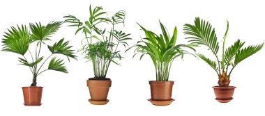 Livistona Rotundifolia, Howea, Chrysalidocarpus lutescens, Cycas Palm Trees in flowerpot isolated on white background