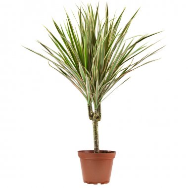 Dracaena decoration in a flower pot isolated on white