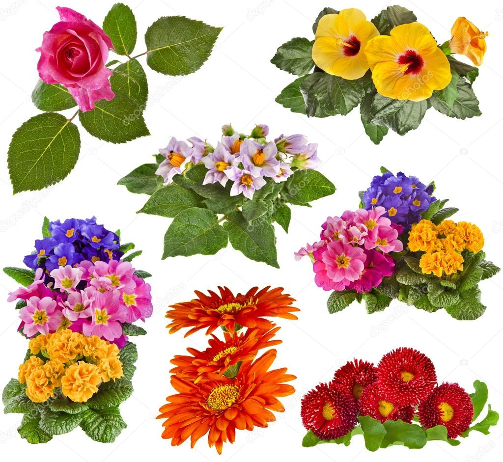 Flowers Bouquet: Rose, Hibiscus, Potato, Primrose, Gerbera, Daisy ...