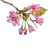 Photo Pink cherry blossom flowers, isolated on white