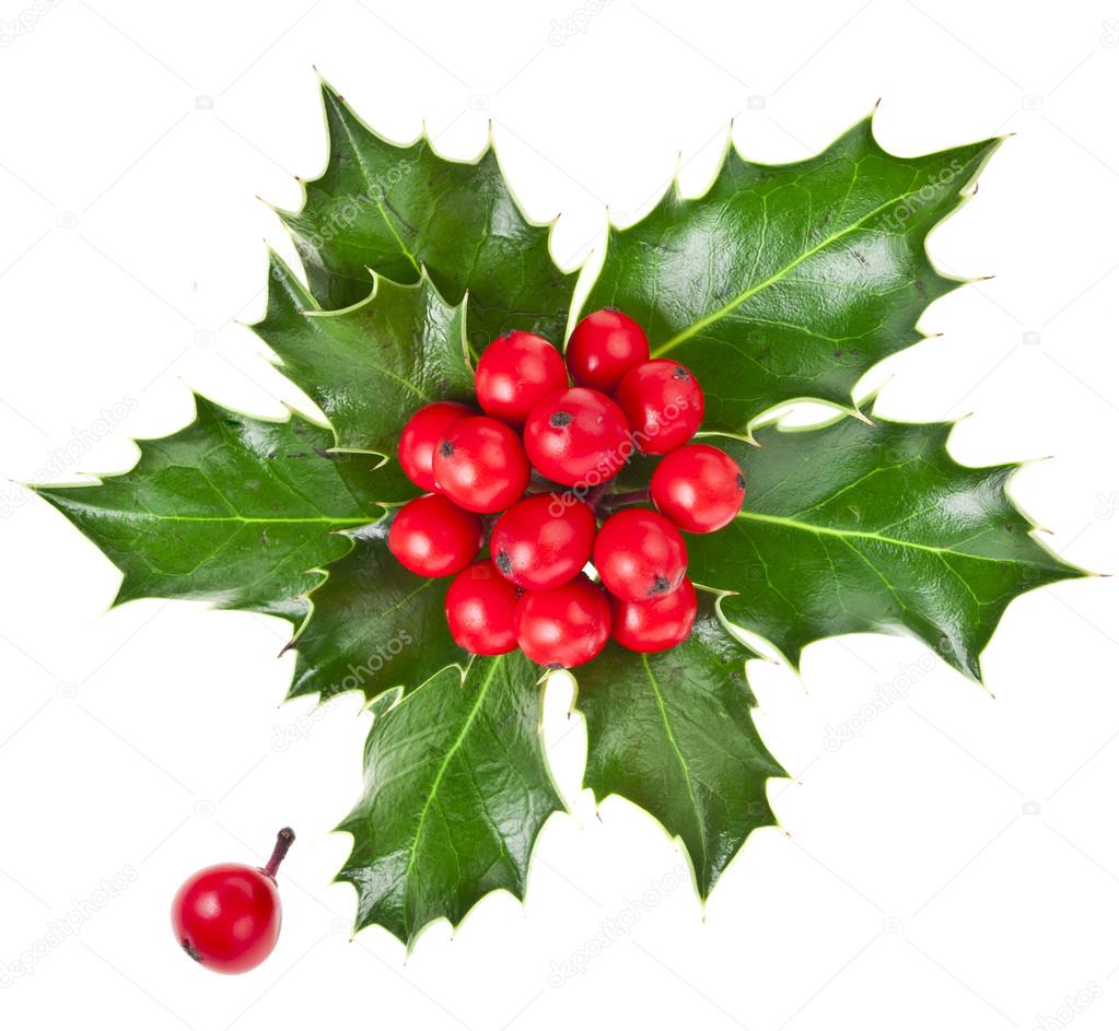 Christmas holly Ilex isolated on white background