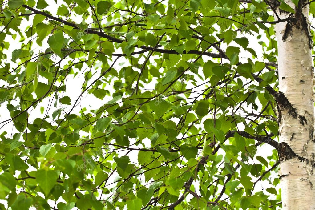 A birch is in spring with green leaves