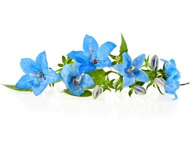 Campanula blue flower isolated on white background stock vector