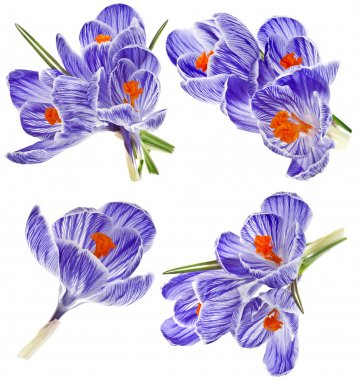 Collection set of purple crocus flower isolated on white background