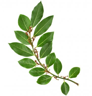 branch of fresh bay laurel leaves isolated on white