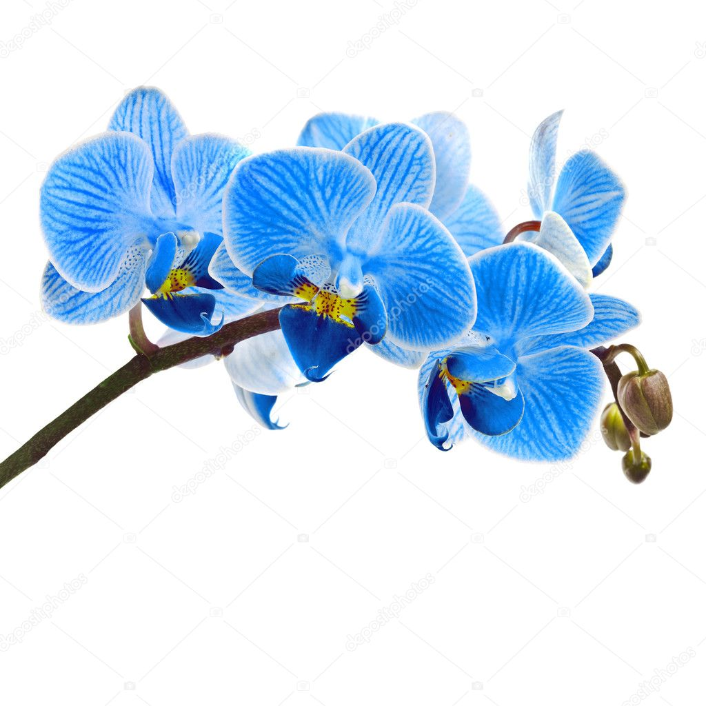 Beautiful flower Orchid, blue phalaenopsis close-up isolated on white background